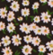 Black Daisy - Multi
